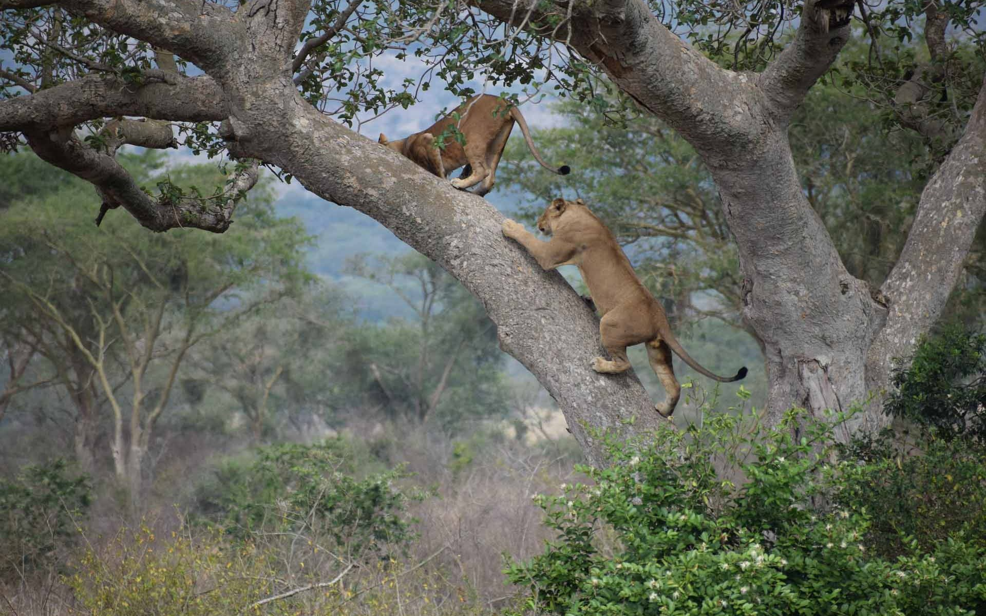 The Tree Climbing Lions of Ishasha Sector