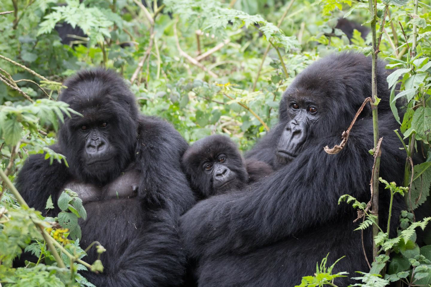 Gorillas in Volcanoes National Park