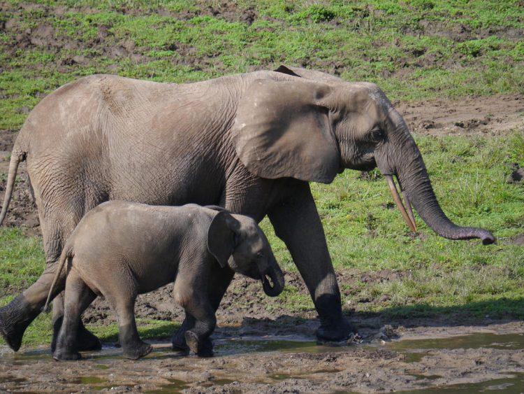Bamingui Bangoran Elephants