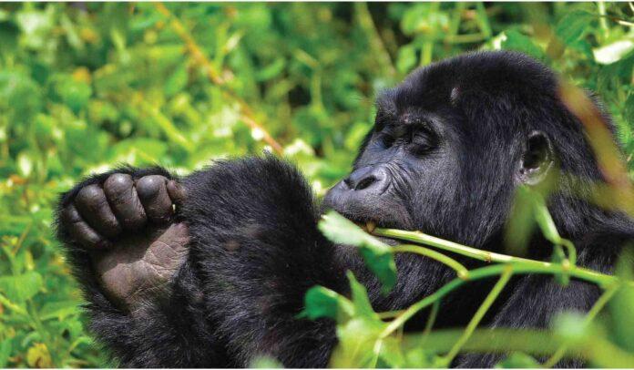 Uganda Primate